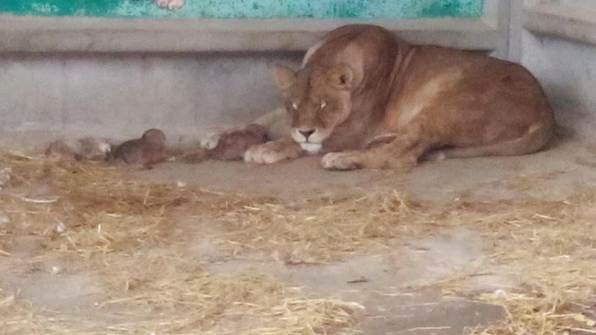 У приватному зоокутку в Дубовому народилися троє левенят