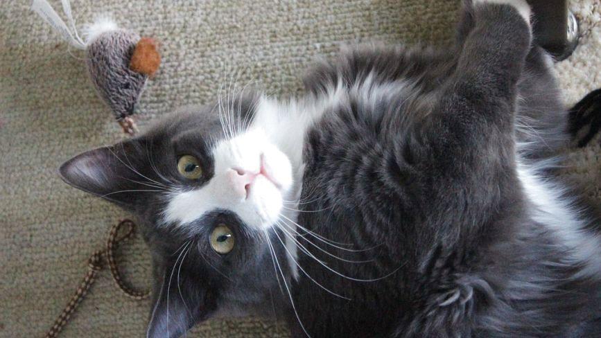 Що цікавого ви знаєте про котів? (ТЕСТ)