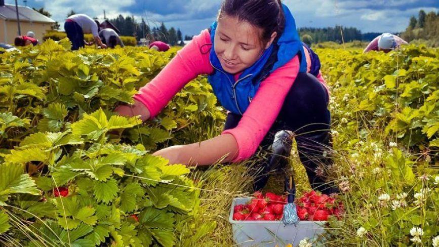 Сезонний збір ягід: що пропонують за кордоном, в Україні та на Хмельниччині