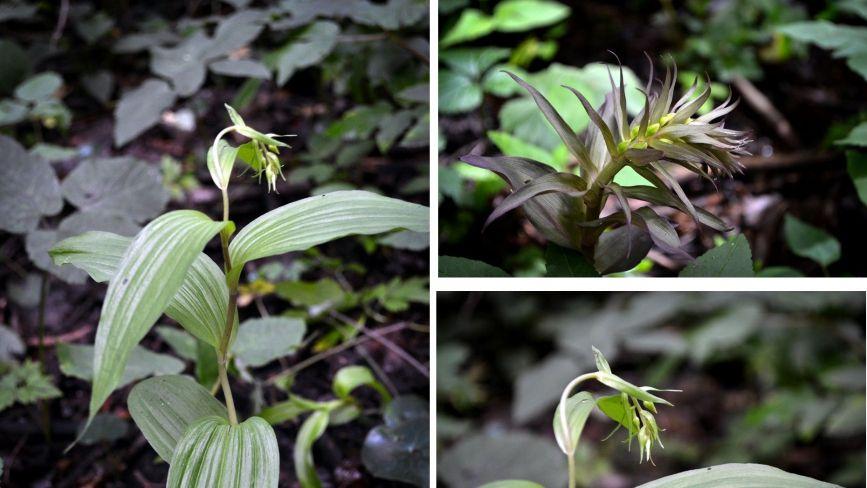 Красиві та дуже рідкісні. На Хмельниччині квітнуть унікальні орхідеї (ФОТО)