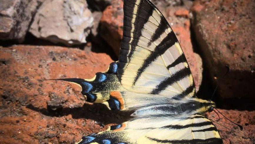 На Хмельниччині виявили рідкісного барвистого метелика (ФОТО)