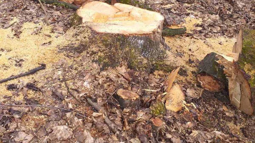 В лісовому масиві на Хмельниччині зрубали майже дві сотні дерев. Поліція шукатиме винних