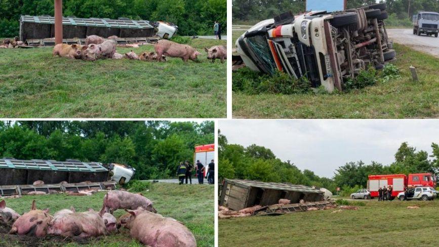 Біля Шепетівки перекинулася вантажівка зі свинями (ФОТО)