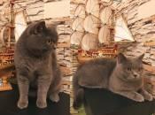 Сімка і Тімка зібрали найбільше голосів у фотоконкурсі «Найкращий кіт»