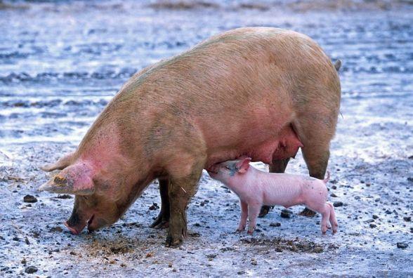 На Хмельниччині через чуму спалили майже 15 тисяч свиней
