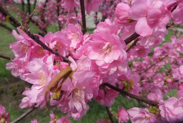 Гіацинти, тюльпани і сакури: як цвіте Хмельницький