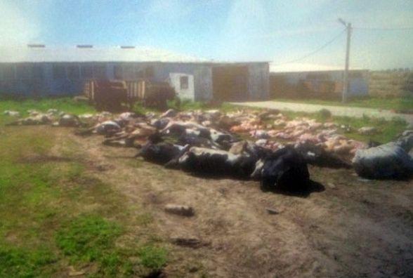 У фермера із Віньковецького району загинуло 88 корів