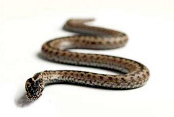 В квартиру на Зарічанській залізла змія