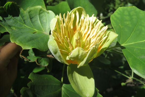 В ботанічному саду ХНУ  розквітло тюльпанове дерево