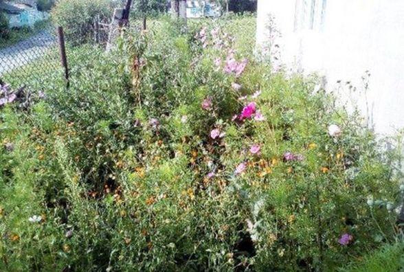 """""""Думав, що це просто квіти"""": у Шепетівському районі чоловік насадив 300 кущів маку"""