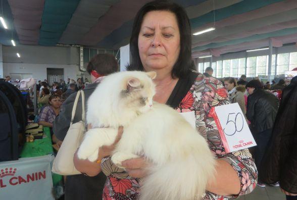 Мейн-куни, шотландці і бенгали: у Хмельницькому показують котів унікальних порід