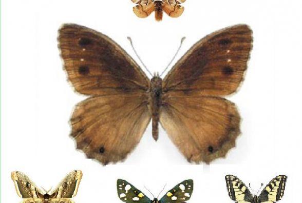 Зникаючі й рідкісні види метеликів: кого з Червоної книги можна зустріти на Хмельниччині