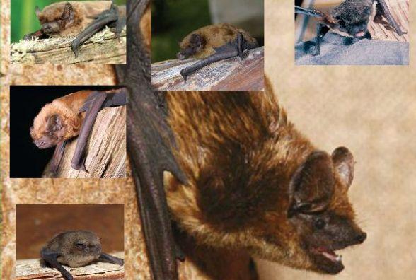 Зникаючі й рідкісні види тварин: кажани з Червоної книги, яких  знаходили на Хмельниччині