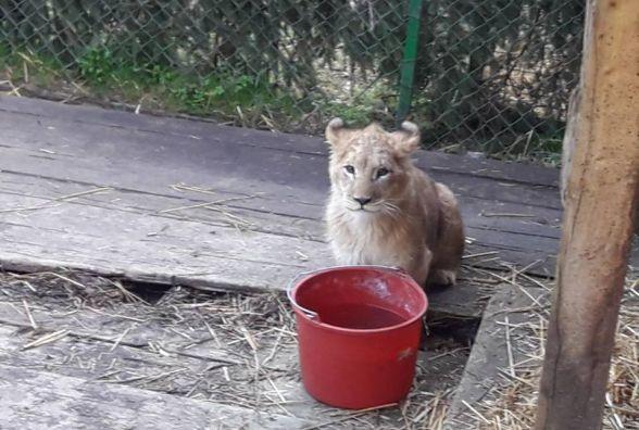 Левеня з приватного зоопарку Пальохіна поїде в Південну Африку