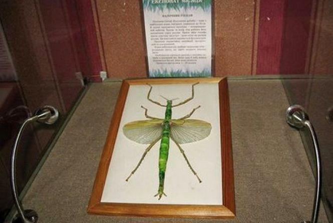 У хмельницькому музеї показують найбільшу комаху Австралії