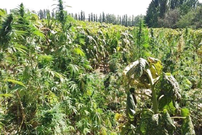 4 гектари коноплі знайшли поміж соняшником у Деражнянському районі