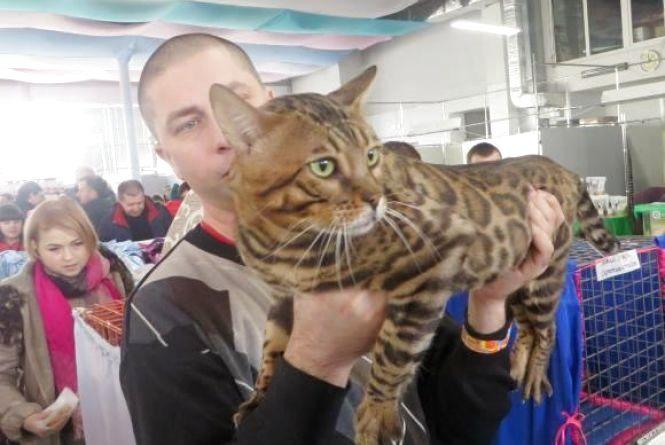 «Леопардові» бенгали і граційні сфінкси. Хмельничанам покажуть котів унікальних порід