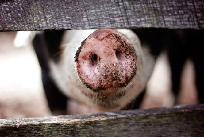 На Хмельниччині зафіксували спалах африканської чуми свиней