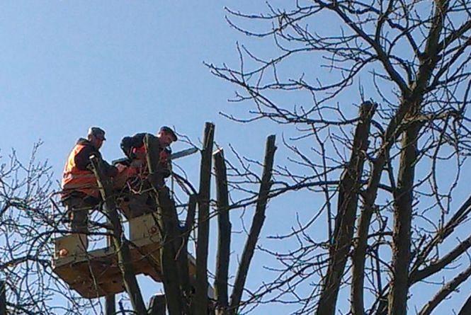 По Курчатова та Львівському шосе обмежать рух транспорту через омолодження дерев