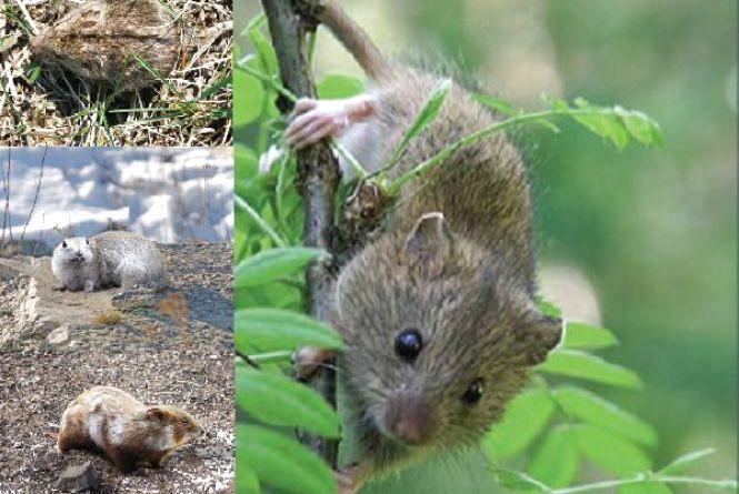 Зникаючі й рідкісні види тварин: яких гризунів з Червоної книги знаходили на Хмельниччині