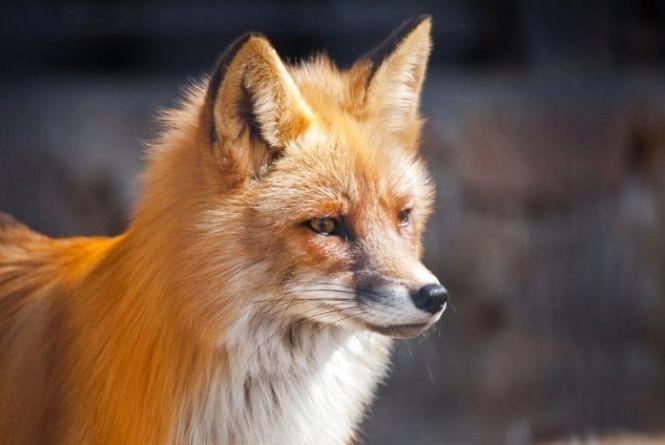 В Ізяславському районі хвора на сказ лисиця покусала собак