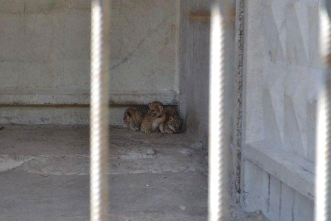 У приватному зоокуточку Пальохіна народилися четверо левенят