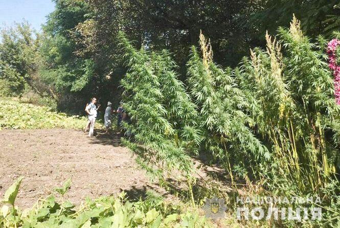 Плантацію конопель на власному городі вирощувала пенсіонерка з Хмельниччини